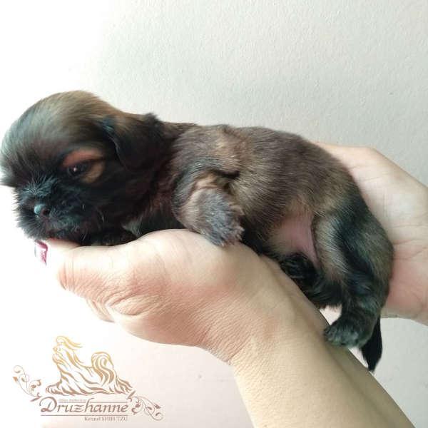 купить щенка ши-тцу в питомнике Москва