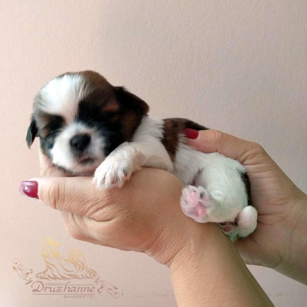 купить щенка ши-тцу в Москве