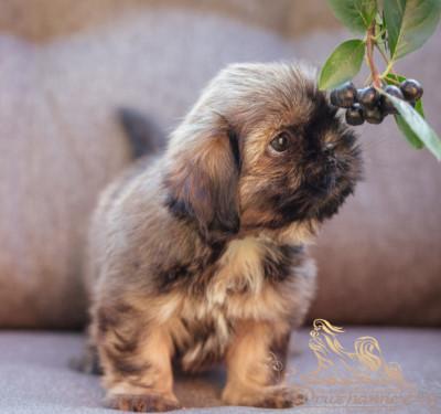 продажа щенка ши-тцу