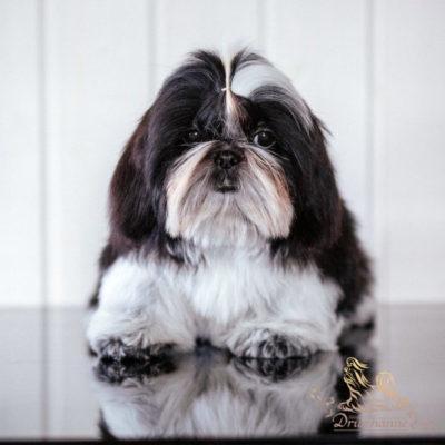 Продается щенок ши-тцу 5 месяцев